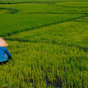 ricefields2.jpg