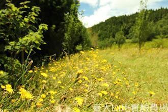 Photo: 拍攝地點: 梅峰-白楊步道 拍攝植物: 貓兒菊 拍攝日期:2012_07_21_FY
