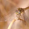 Libélula (Scarlet dragonfly)