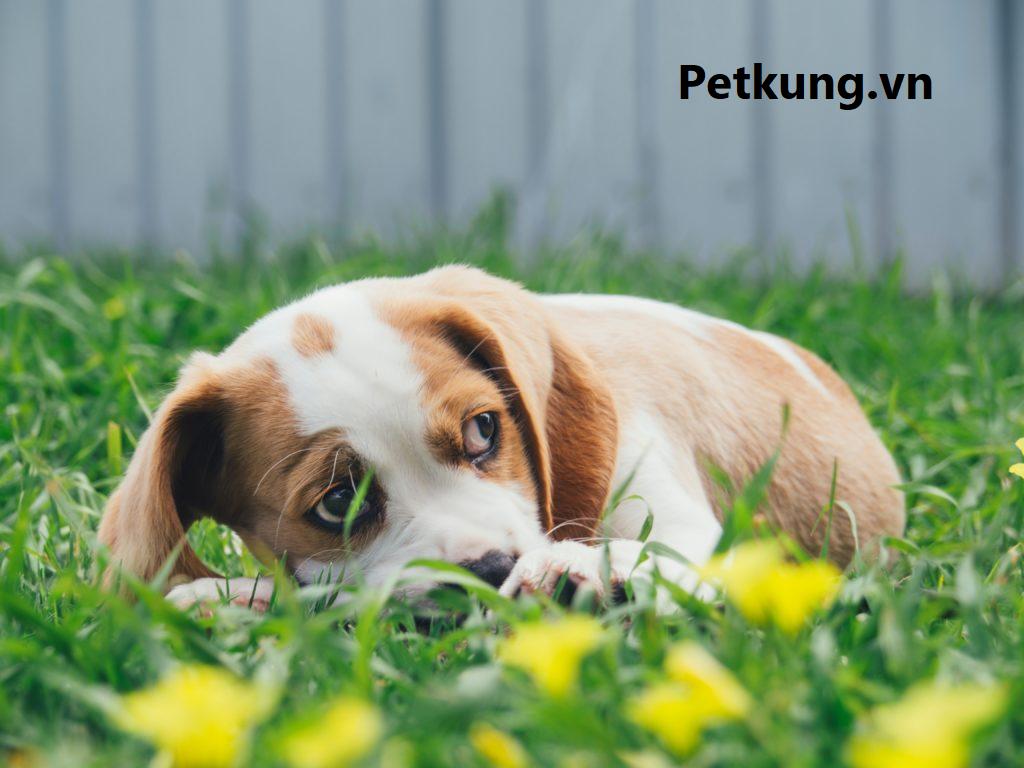 chữa bệnh chó bị nôn hiệu quả