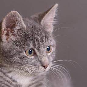 Biko 2 by Anita Meis - Animals - Cats Kittens ( studio, kitten, tom, biko, cat, tabby, boy, flash )