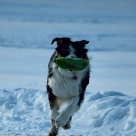 by Simon Hanžurej - Animals - Dogs Running
