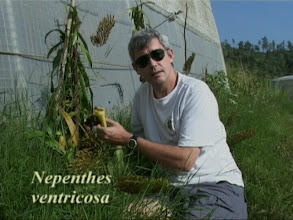 Photo: Rob Cantley mit N. ventricosa in Freilandkultur / Outdoor cultivation. Video image: S. Hartmeyer.