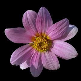 by Saqlain Raza - Flowers Single Flower