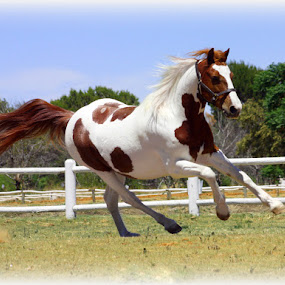 Pinto Running by Christil-Photography Bloemfontein - Animals Horses ( wind, pony, white & brown, pinto, running )