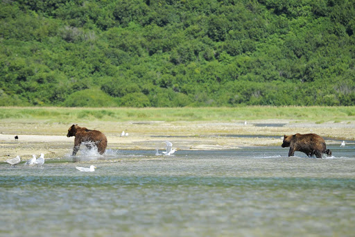 Ponant-Alaska-Katmai-brown-bears.jpg - Visit Katmai National Park in Alaska on Ponant's Le Boreal.