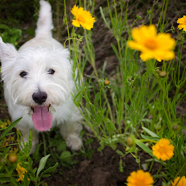 Fred in the Yellow Flowers by Jen St. Louis - Animals - Dogs Portraits ( flowers, outdoors, west highland white terrier, portrait, dog, westie, west highland terrier,  )