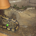 Ball/Royal python