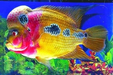 Download 980 Background Aquarium Ikan Louhan Paling Keren