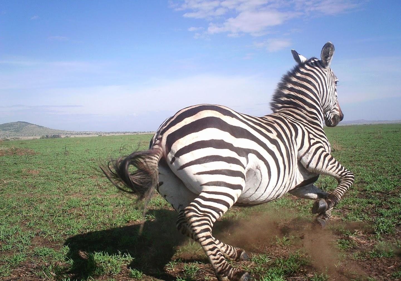 A zebra gallops through grasslands.