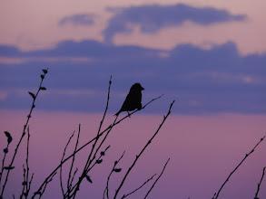 Photo: Krzyżodziób o świcie