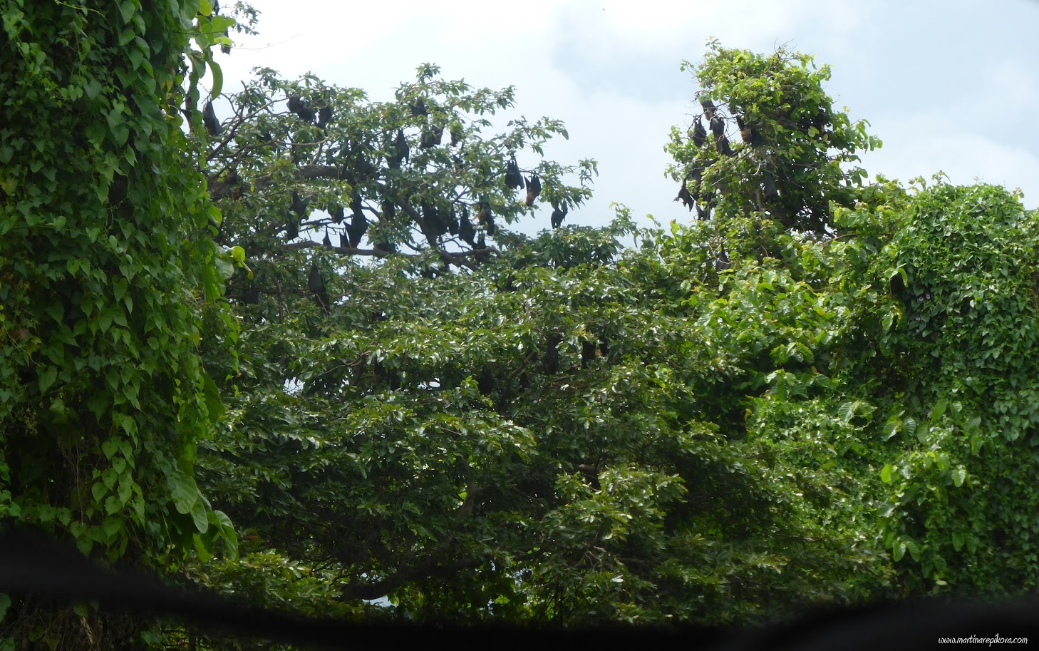Bats on a tree, Sri Lanka