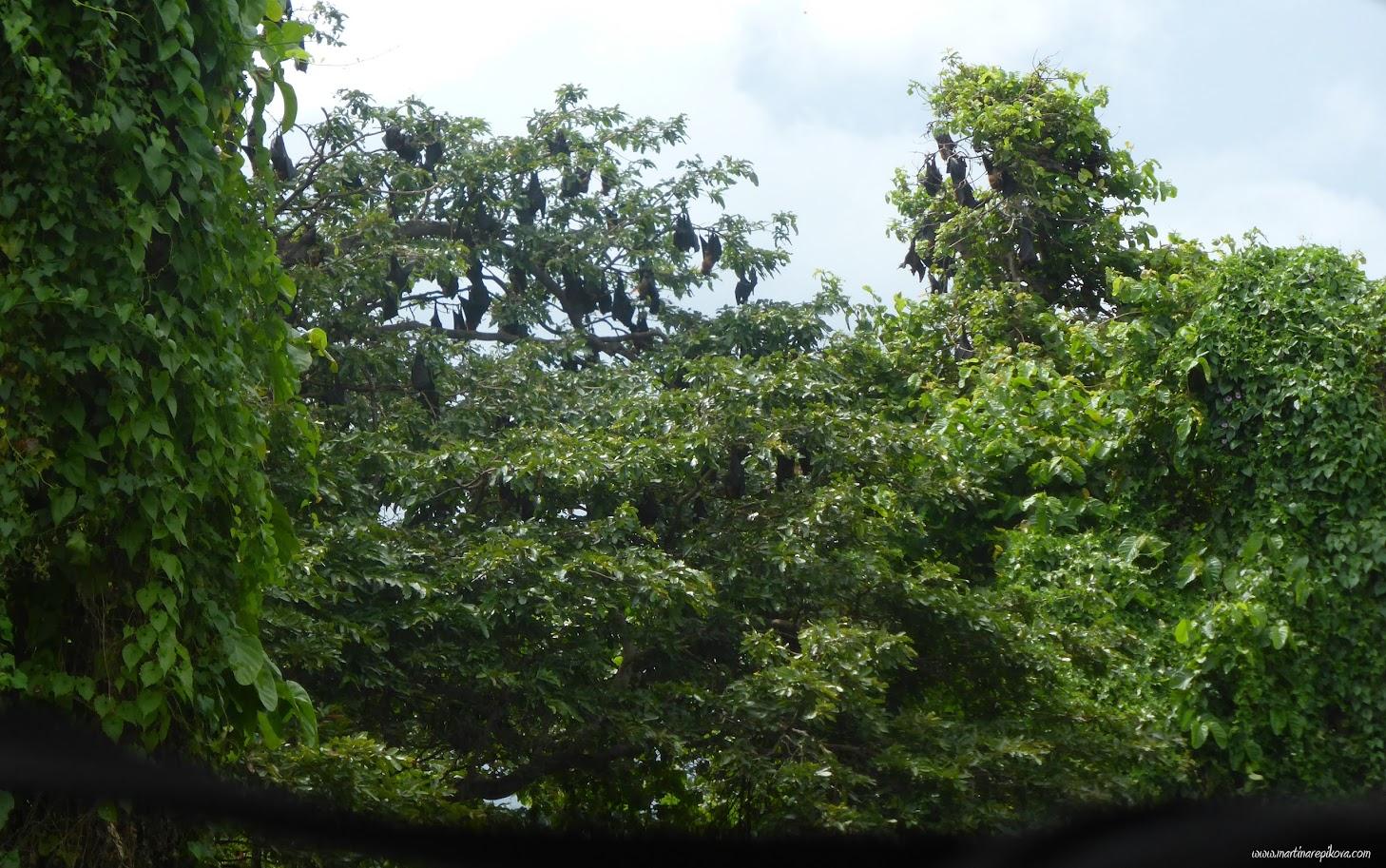 Bats on a tree, Sri Lanka