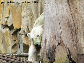 Photo: Knut in weiss-gruen schubbert sich am Baumstamm ;-)
