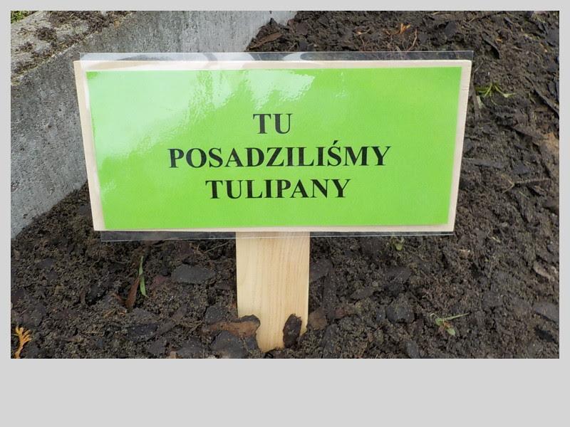 Klub Przyjaciół Natury: Sadzimy tulipany