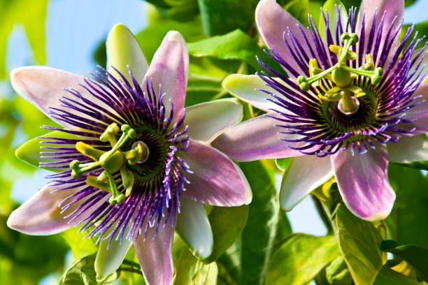 Passionflower; Breathtaking Flowers That Start With P