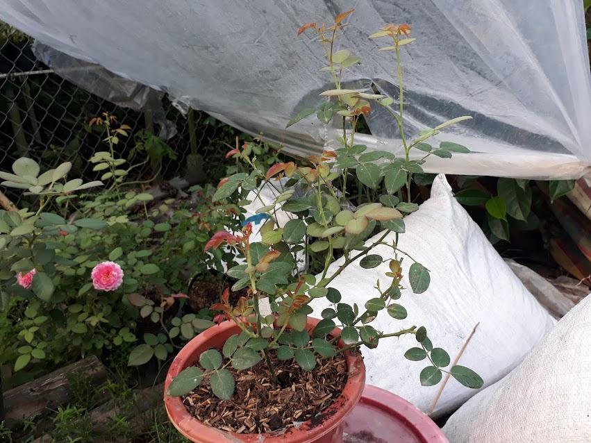 Hình dáng cây hồng ở ngày 20/08/2017