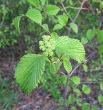 Photo: Arrowwood (Viburnum dentatum), 5.14