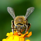 Blue Banded Digger Bee