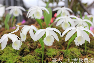 Photo: 拍攝地點: 梅峰-一葉蘭展示室 拍攝植物: 臺灣一葉蘭 梅雪 拍攝日期:2012_04_01_FY