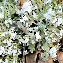 Resurrection Cladonia