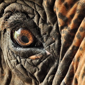 Elephant Eye by Leanne Adams - Animals Other Mammals ( elephant, beautiful, brown, close up, eye )