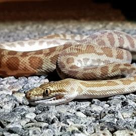 Stimsons Python by Clarissa Human - Animals Reptiles ( python, snake, australia, nighttime, wildlife, reptile, snakes,  )