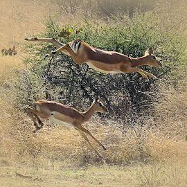 Impalas by Kurt Haas - Animals Other Mammals ( national park, wilderness, nature up close, impala, animals, wild, wild animal, national geographic, wildlife,  )