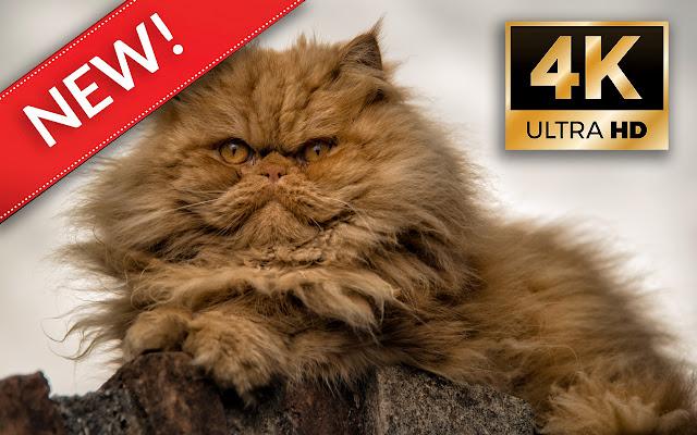 Persian cats HD Wallpapers - Custom New Tab