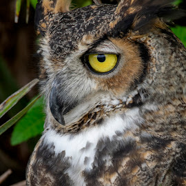 Great Horned Owl by Jeri Curley - Animals Birds ( owl; great horned owl; bird,  )