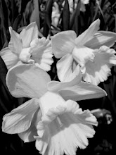 Photo: Black and white photo of 3 daffodils at Cox Arboretum in Dayton, Ohio.