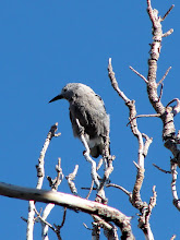 Photo: Clark's nutcracker seen at Rocky Point Vista along the Beartooth Highway in Custer National Forest. This species is found in pine forests at high elevation  (3,000 to 13,000 feet).