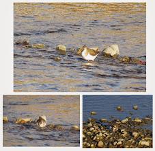 Photo: 撮影者:佐藤サヨ子 イソシギ タイトル:定期カウントで 観察年月日:2014年12月7日 羽数:3 場所:一番橋下流 区分:行動 メッシュ:武蔵府中1K コメント:鳥の数も多かったが参加者も多かった。イソシギは風船みたいに膨らんでいた。