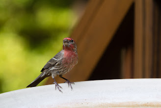 Photo: Male House Finch