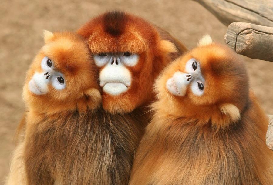 golden love monkeys by Budiman Nagawidjaja - Animals Other Mammals