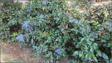 Photo: Spatiul verde din fata Catedralei Ortodoxe, Mahonia - (Mahonia aquifolium) - 2017.07.20