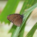Spotted Palmfly
