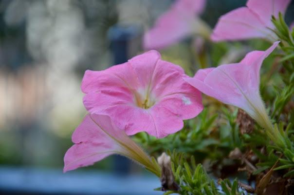 Il rosa di un fiore di wulwais