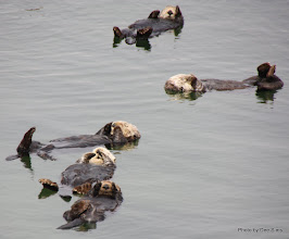 Photo: (Year 3) Day 20 - Otters Floating #4