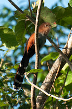Photo: Squirrel Cuckoo (Eichhornkuckuck); Bacalar, QROO