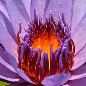 Deep Purple by Benyamin Kristiawan - Nature Up Close Flowers - 2011-2013 ( water, macro, purple, nature, flower, , watter lilies )