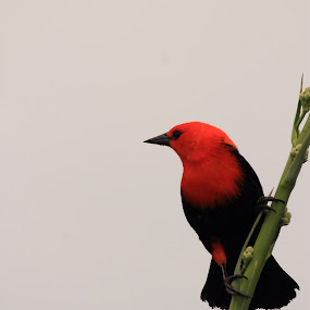 Scarlet-headed Blackbird by Jorrit Prmt - Animals Birds ( ibera scarlet-headed blackbird )