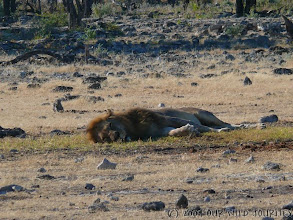 Photo: Líny lev u vodní nádrže Chudob v Etoshe / Lazy lion at Chudob waterhole in Etosha