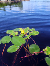 Photo: July 22. Yellow Pond Lily is well distributed around the lake.