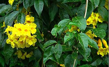 Photo: Cipó Banana Amarelo (Adenocalyma comosum)