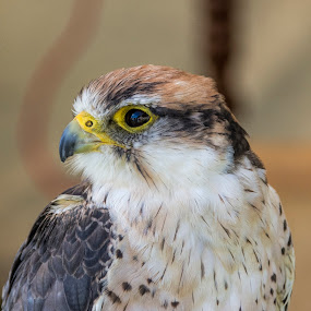 Bird at a festival by Tristan Wright - Animals Birds ( bird of prey, close up, feather, portrait, eyes,  )