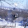 Black-capped Chickadee