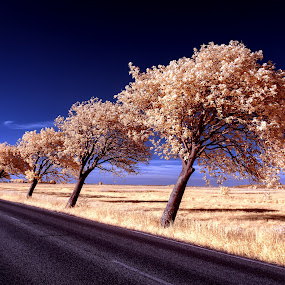 Bowing trees II by Thorsten Scheel - Landscapes Prairies, Meadows & Fields ( ir, zingst, infrared, barth, trees, infrarot )