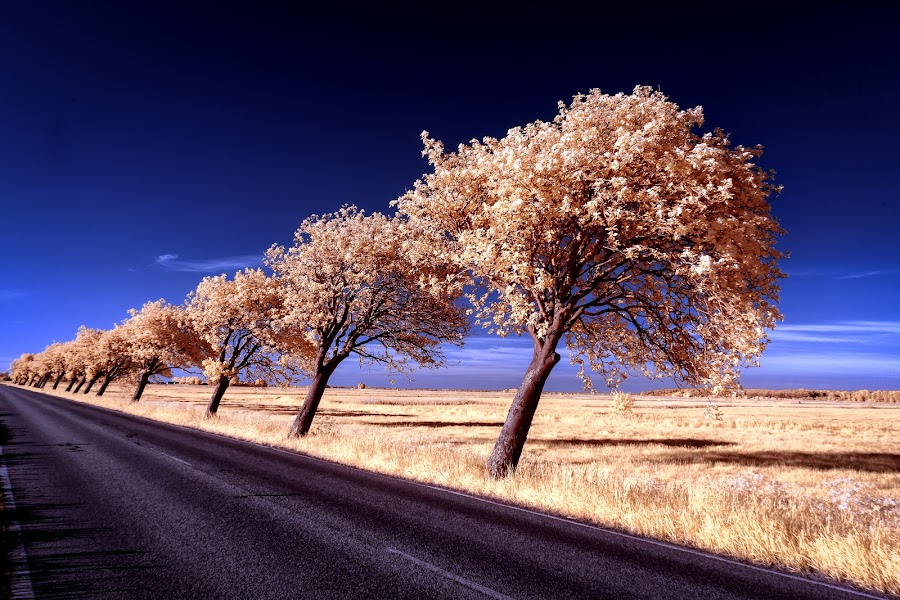 Bowing trees II by Thorsten Scheel - Landscapes Prairies, Meadows & Fields ( ir, zingst, infrared, barth, trees, infrarot )