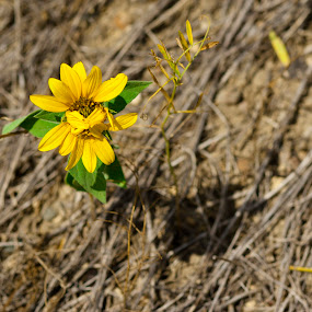No, Drought can't kill me by Anh Nguyen - Nature Up Close Flowers - 2011-2013 ( blooming, colorado, sun flower, dead, drought )